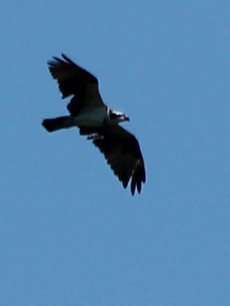 Osprey - Summertime