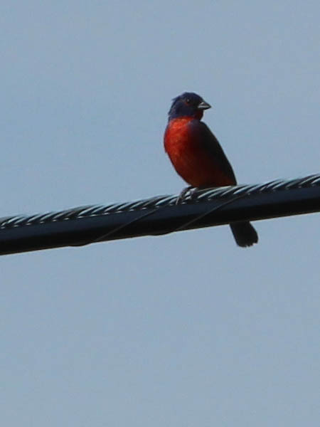 Painted bunting - A Flash of Color