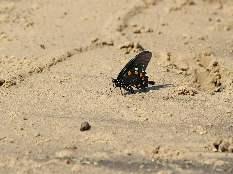 Pipevine Swallowtail - Sandy Beach