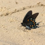 Pipevine Swallowtail - Sandy Beach