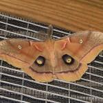 Polyphemus Moth - Big Swoll