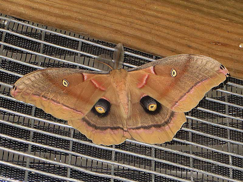 Polyphemus Moth - Big Swoll