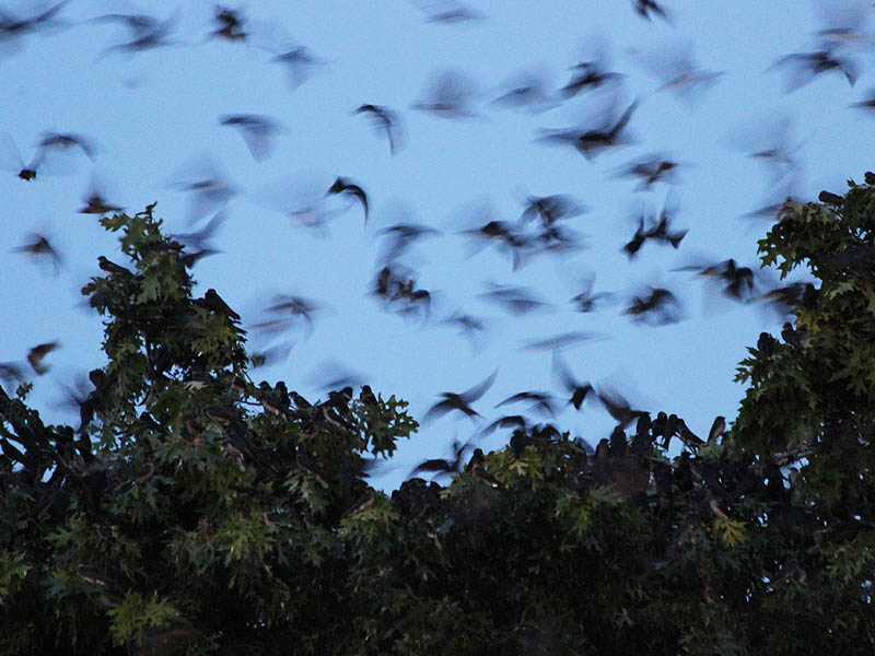 Purple Martin - Garland Roost