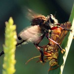 Robber Fly - Mighty Hunter