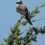 Scissor-tailed Flycatcher - Lookout