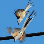 Scissor-tailed Flycatcher - My Spot