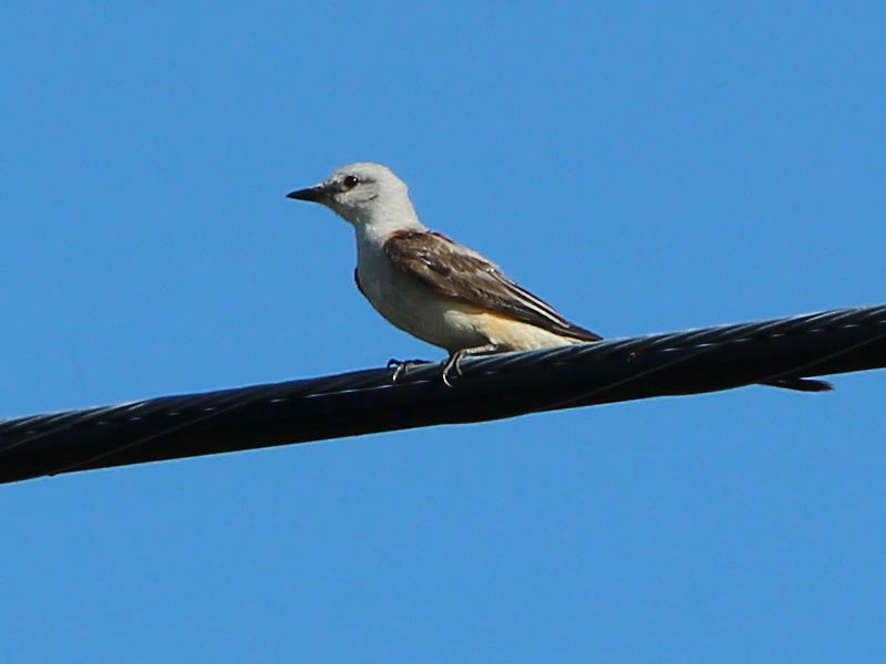 Scissor-tailed Flycatcher - My Spot