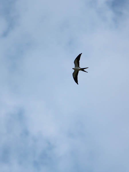 Swallow-tailed Kite - Wonderful!