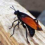 Tarantula Hawk - Big Sting