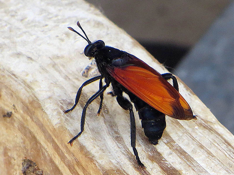 Tarantula Hawk - Big Sting