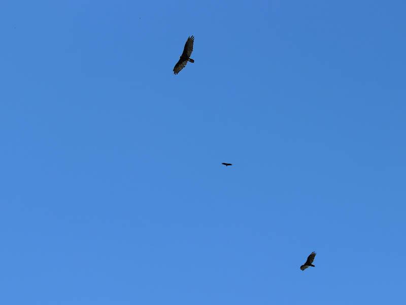 Turkey Vulture - Lake Lewisville Roost
