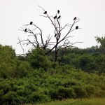 Turkey Vulture - Roost