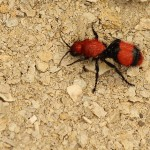 Velvet Ant - Female