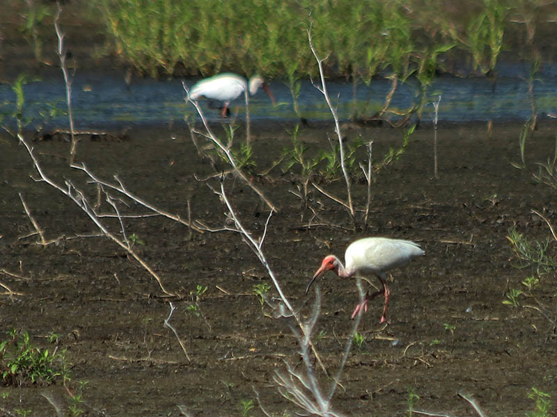 This ibis was drawn away from the water's edge by a grasshopper he was chasing.