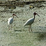 White Ibis - Lemmon Lake