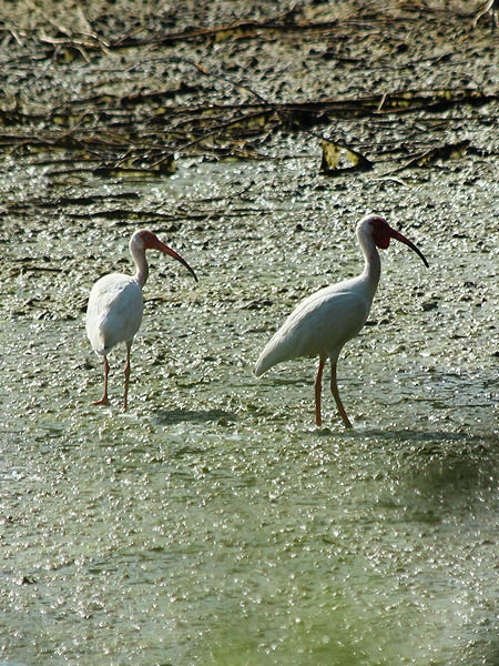 In addition to the darker red coloration on their legs and beaks, some ibis also sport a dewlap under their chin.  I am not sure what accounts for these differences in color and form.