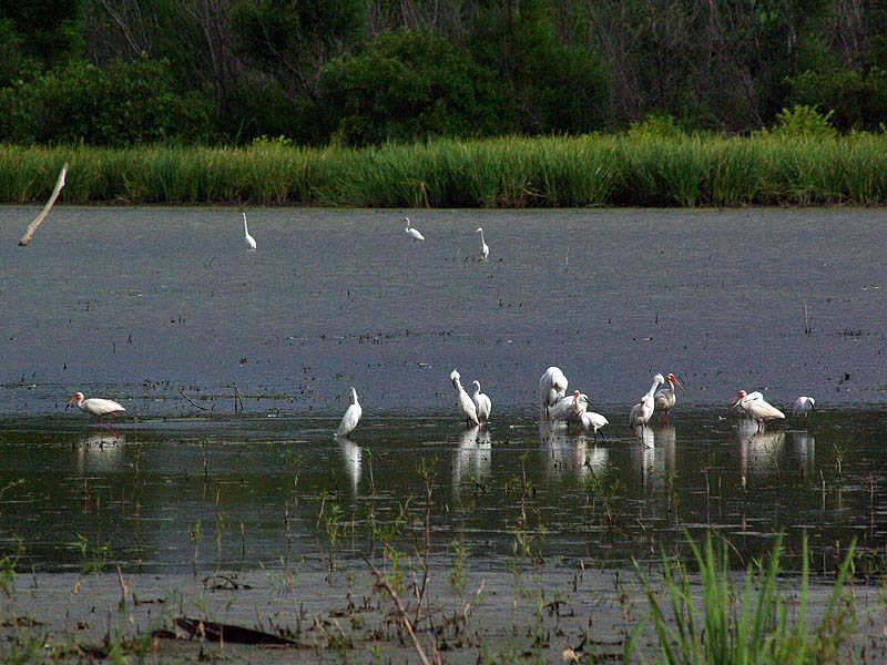 White Ibis - Remembering the Lake