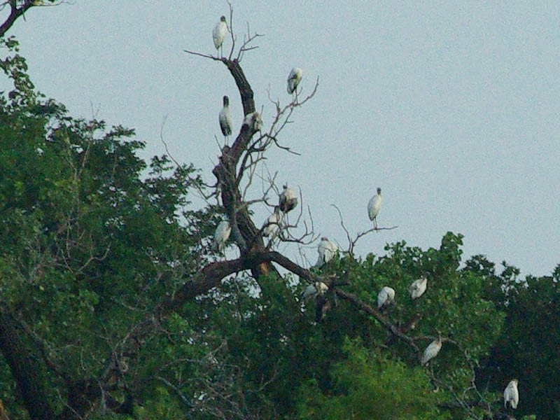 Wood Stork - More Nostalgia