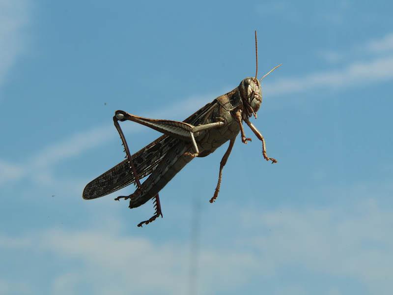 American Bird Grasshopper - Windshield