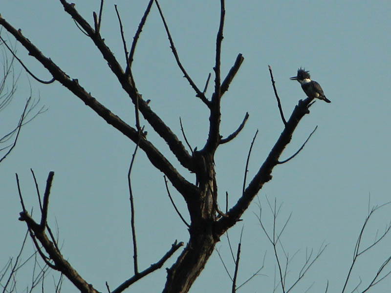 Belted Kingfisher - Scraggle