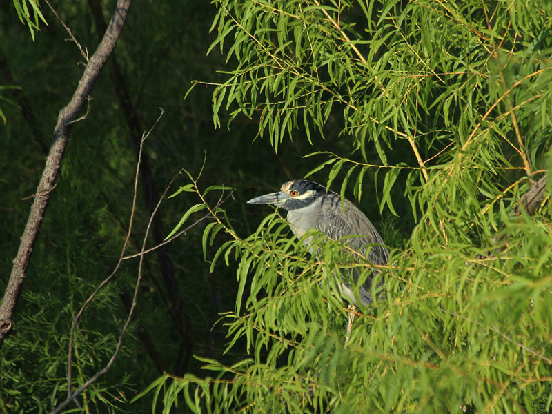 Black-crowned Night Heron - Partially Concealed