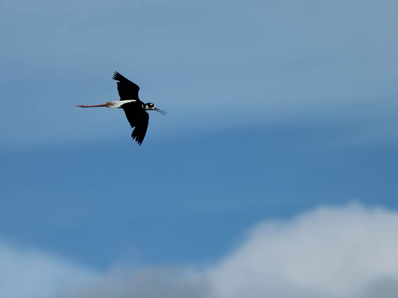 Black-necked Stilt - In Flight