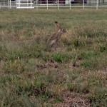 Black-tailed Jackrabbit - The First