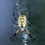 Black and Yellow Garden Spider - Saving Some for Later