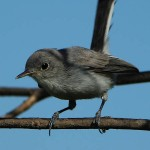 Blue-gray Gnatcatcher - A Scolding