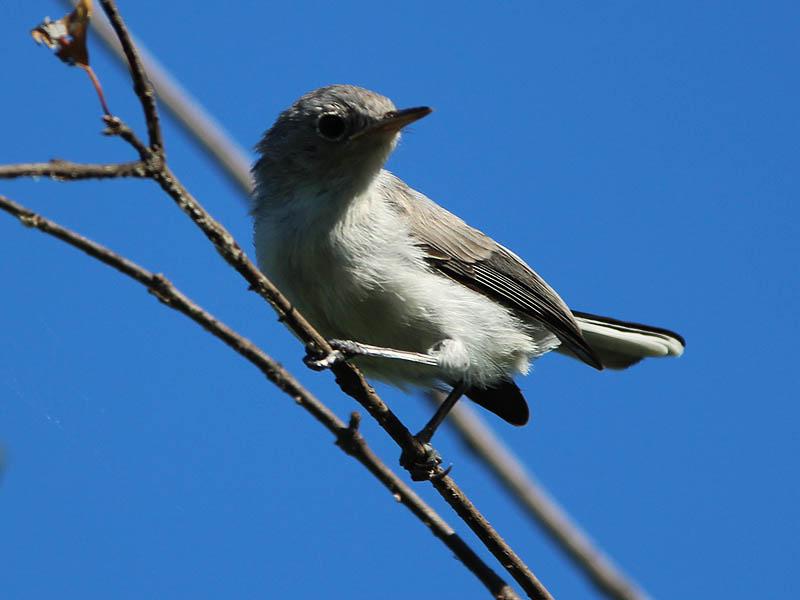 Blue-gray Gnatcatcher - A Scolding