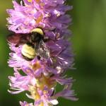 Bumblebee - Purple Pickerel Rush