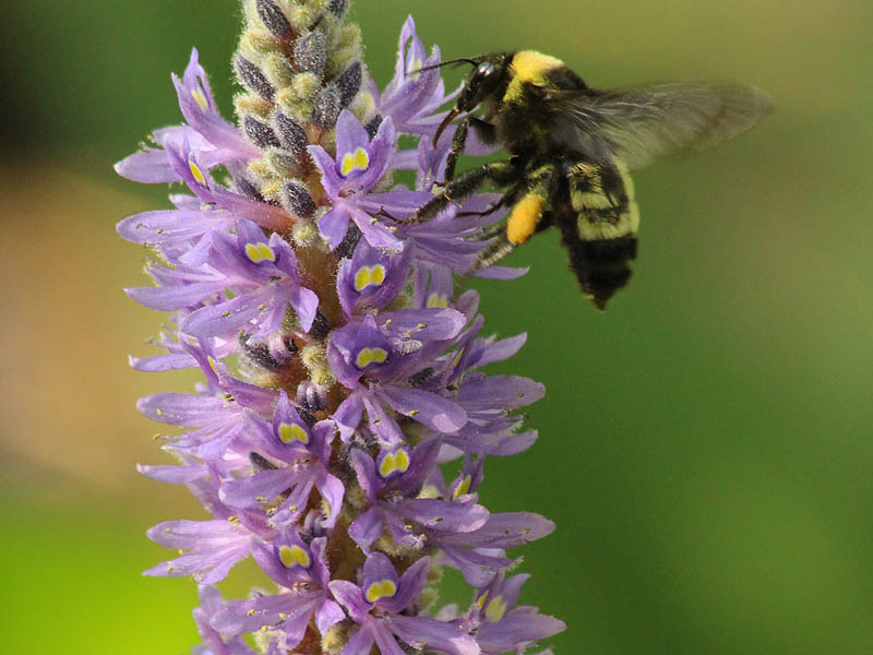 Bumblebee - Purple Pickerel Rush