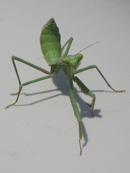 Carolina Mantis - Stow Away