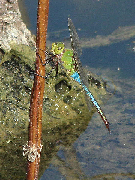 Common Green Darter - Unmistakable