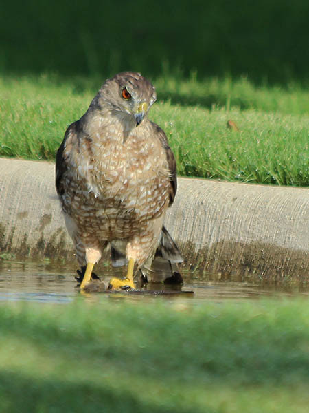 Cooper's Hawk - Drowning Victim