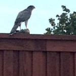 Cooper's Hawk - Fenced