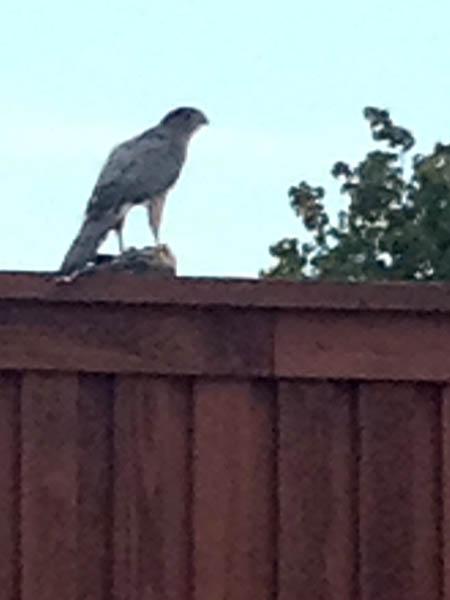 Cooper's Hawk - Fenced