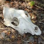 Coyote - Skull