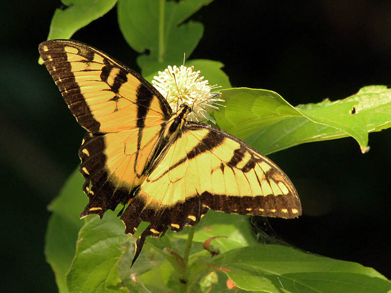 Eastern Tiger Swallowtail - Button Bush Bloom