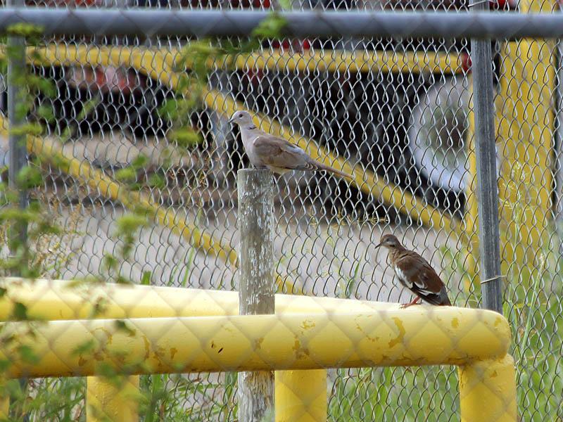 Eurasian Collared-dove - In Comparison