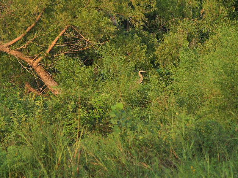 Great Blue Heron - Revealed