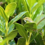 Green Anole - Little Guy