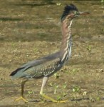 Green Heron - Interacting on the Mud Flats