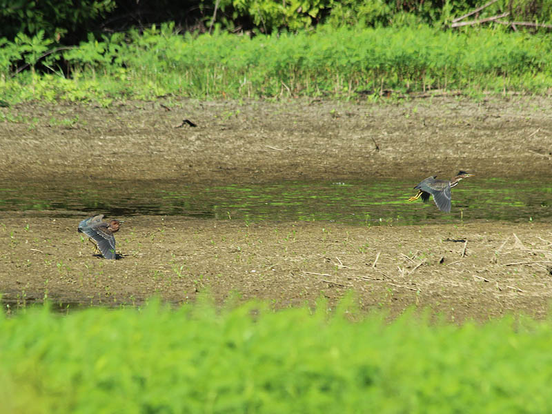 Green Heron - Interacting on the Mud Flats