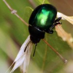 Haldeman's Green Potato Beetle - Metallic Green