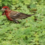 House Finch - Crimson and Clover