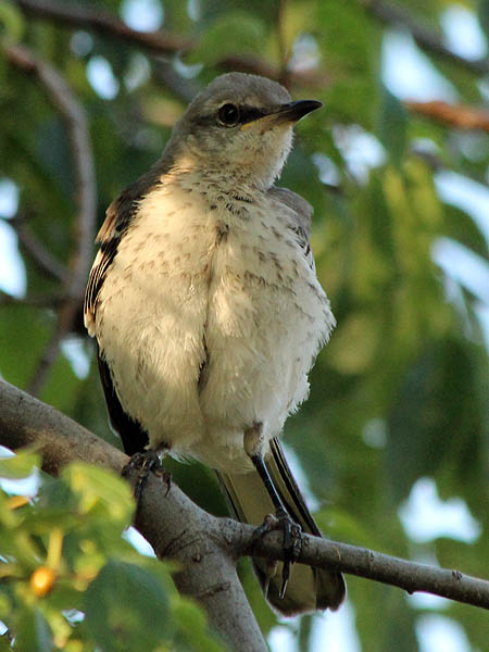 Northen Mockingbird - Juvenile Preening