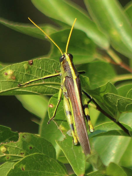 Obscure Bird Grasshopper - Extra Large