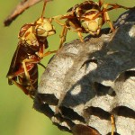 Paper Wasp - They Just Look Angry