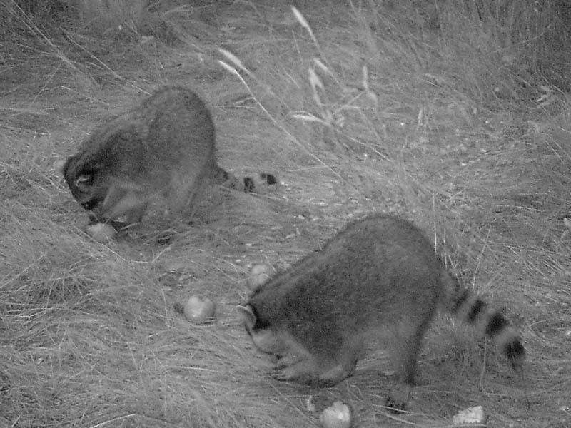 Raccoon - Raiders at Dusk